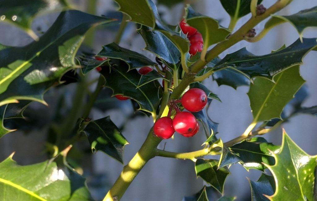 Holly berries on bush