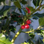 Holly berries on bush