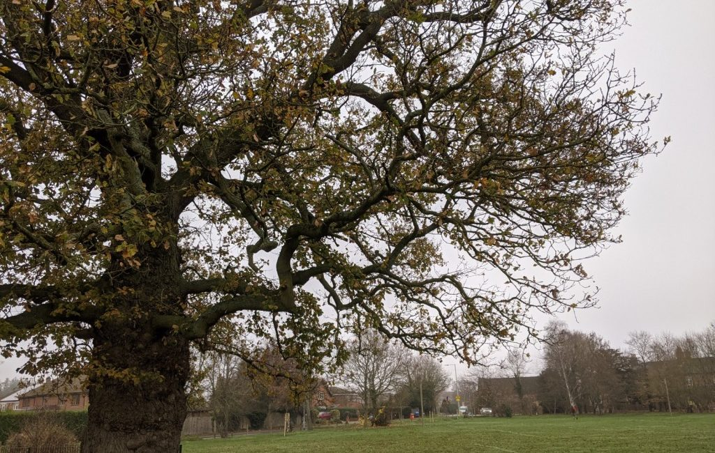 Sindelsham Oak tree at Bearwood Recreation Ground