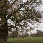 Sindelsham Oak tree at Bearwood Recreation Ground