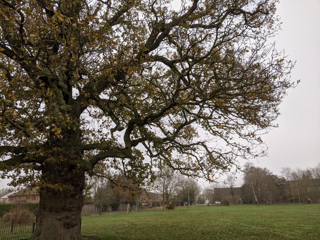 Sindlesham Oak tree at Bearwood Recreation Ground