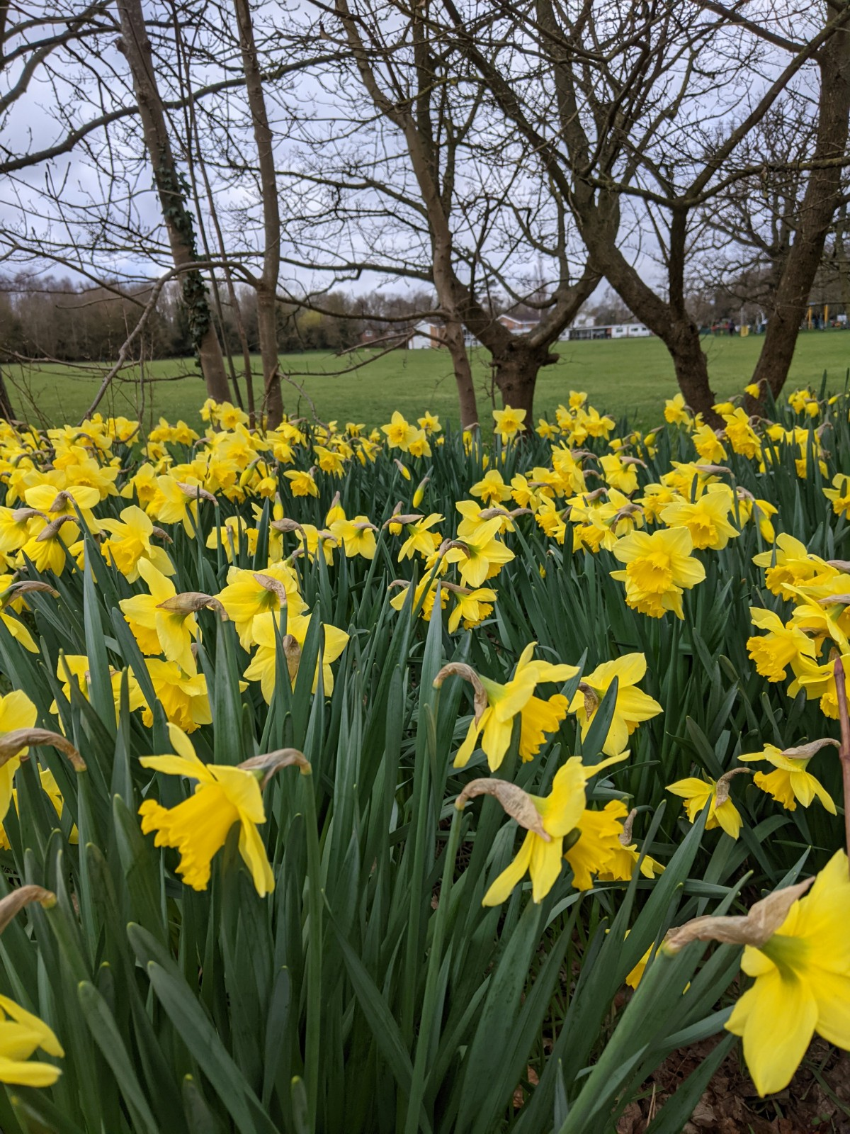 Daffodils at Bearwood Recreation Ground