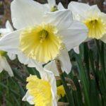 Daffodils at Bearwood Recreation Ground