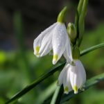 The Loddon Lily