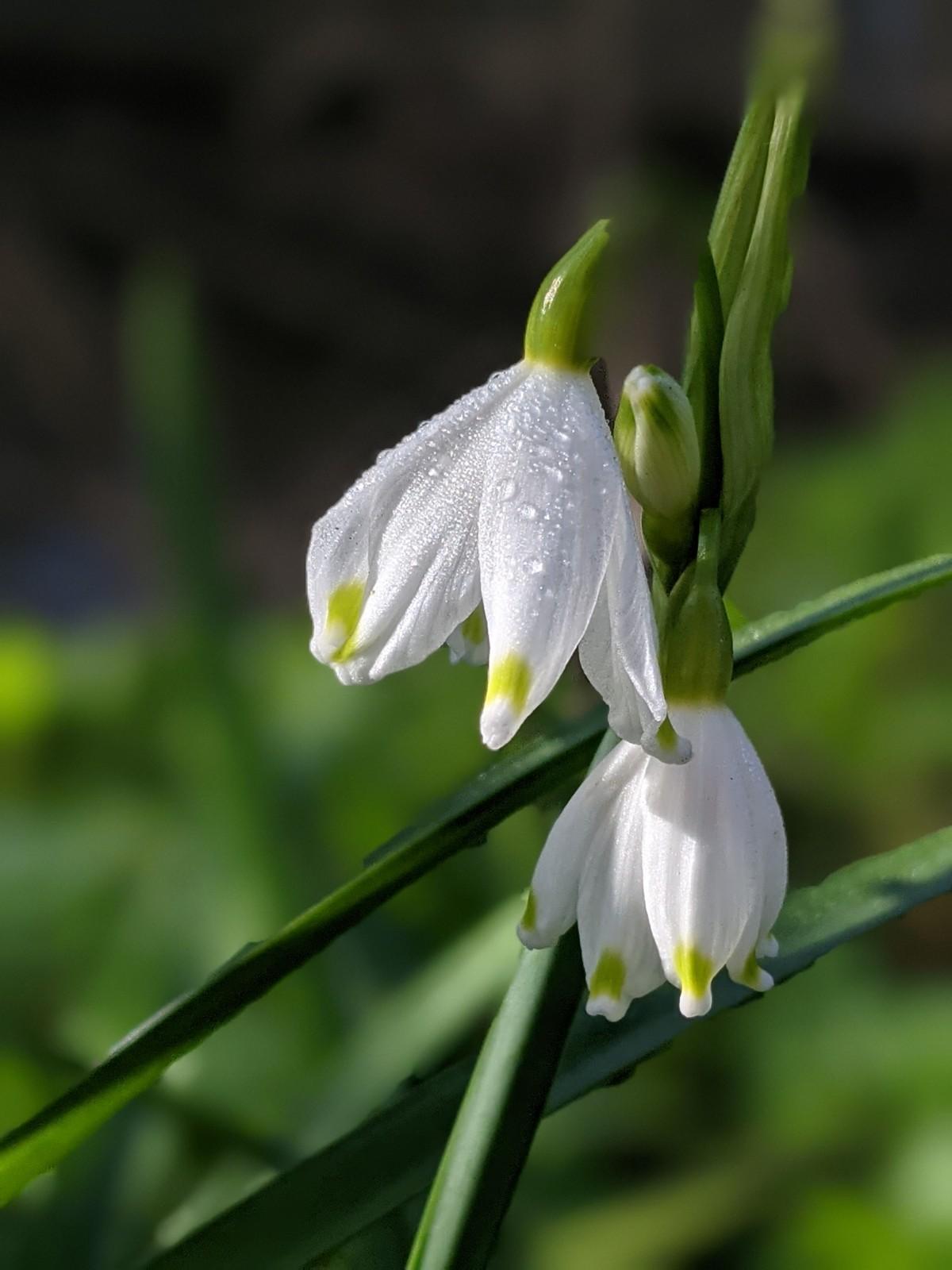 The Loddon Lily