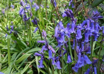 Bluebells on hatch Farm Way